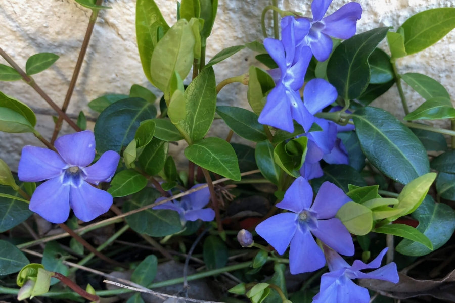 little blue flowers growing by side of house